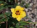 Hemerocallis 'Spittoon' - 9283700583.jpg