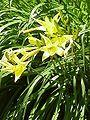 Hemerocallis thunbergii1.jpg