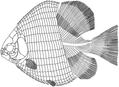 Hemicalypterus weiri.png
