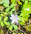 Hepatica nobilis in Lozere (4).jpg