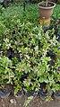 Herbiscus 03.jpg