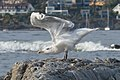 Herring Gull (Larus argentatus) - Nesodden, Norway 2020-09-20 (01).jpg