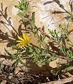 Heterotheca villosa var scabra 3.jpg