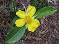 Hibbertia scandens 1.jpg