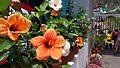 Hibiscus Nepal.jpg