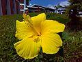 Hibiscus rosa senesis yellow.jpg