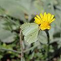 Hieracium tomentosum-IMG 5616.jpg