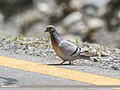 Hill Pigeon (Columba rupestris) (35806536146).jpg