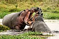 Hippos fighting in Amboseli National Park.jpeg