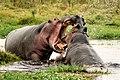 Hippos fighting in Amboseli National Park.jpeg