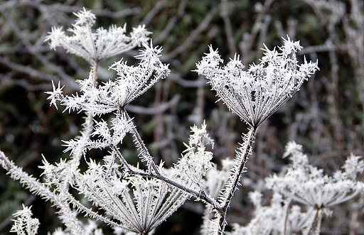 Hoar frost - Flickr - gailhampshire (2)