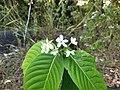 Holarrhena Pubescens- Conessi bark, Ester tree, Ivory tree,Kadalapala,. .jpg