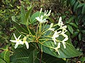 Holarrhena pubescens 01.JPG