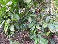 Holigarna arnottiana-1-kottooor-kerala-India.jpg
