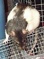 Hooded Rat Ynez-2.JPG