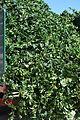 Hop plant.jpg
