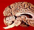 Human brain midsagittal view.JPG