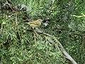 Hume's Leaf Warbler (37331700360).jpg