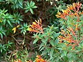 Hummingbird bush (505722745).jpg