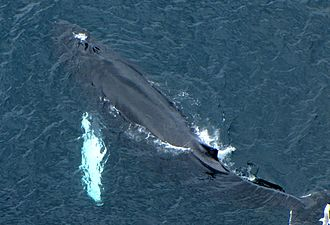Humpback whale - Young whale with blowholes clearly visible