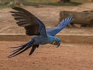 Hyacinth macaw (Anodorhynchus hyacinthinus) in flight.JPG