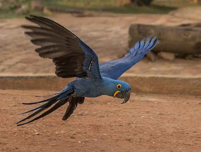 https://upload.wikimedia.org/wikipedia/commons/thumb/5/58/Hyacinth_macaw_%28Anodorhynchus_hyacinthinus%29_in_flight.JPG/640px-Hyacinth_macaw_%28Anodorhynchus_hyacinthinus%29_in_flight.JPG