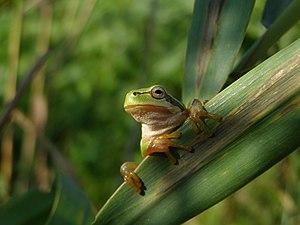 European tree frog - Image: Hyla arborea, Andrei Daniel Mihalca