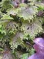 Hylocomium splendens 2005.03.31 10.33.44.jpg