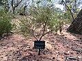 Hypocalymma xanthopetalum whole plant.jpg