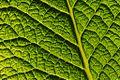 I am a Primulaceae leaf.jpg