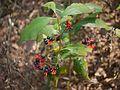 Ichneumon Plant (6782553398).jpg