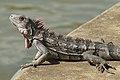 Iguana IV.jpg