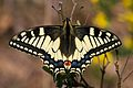 Il conte di Luna - Papilio machaon (by-sa).jpg