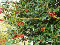 Ilex species, Common Holly 2 - geograph.org.uk - 1045022.jpg