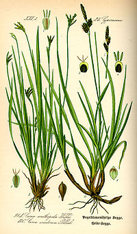 Illustration Carex ornithopoda0