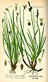 Illustration Carex ornithopoda0.jpg