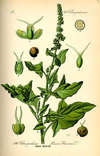 Illustration Chenopodium bonus-henricus0