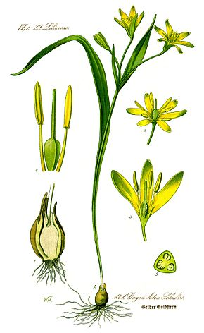 Description de l'image Image:Illustration Gagea lutea0 clean.jpg.
