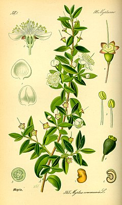 Illustration Myrtus communis0.jpg