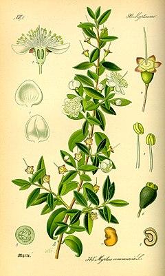 نبات الآس 240px-Illustration_Myrtus_communis0.jpg