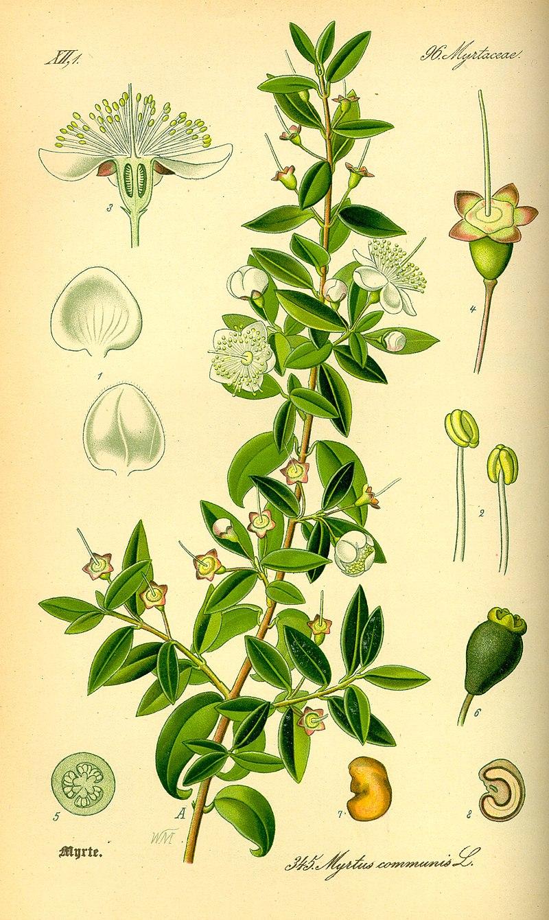 Illustration Myrtus communis0.jpg