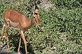 Impala, Tarangire National Park (3) (28638642821).jpg