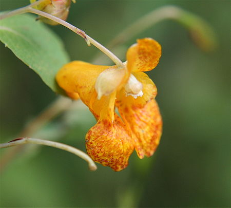 Impatiens capensis1.JPG