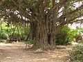 India - Sights & Culture - 010 - Banyan Tree (376422514).jpg