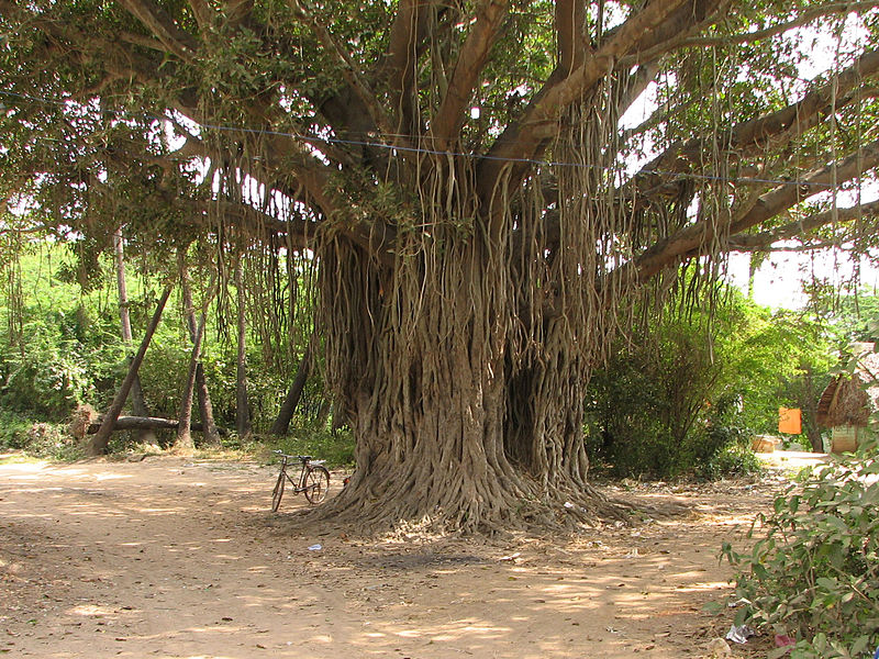 File:India - Sights & Culture - 010 - Banyan Tree (376422514).jpg
