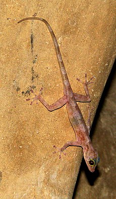 Indian Golden Gecko.jpg