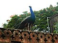 Indian Peafowl..JPG