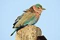 Indian Roller Coracias benghalensis by Dr. Raju Kasambe DSCN1467 (4).jpg