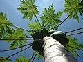 Indian papaya.jpg