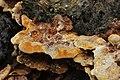 Inonotus cuticularis ? (36394594852).jpg